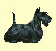scottish terrier prix adopt and breed a scottish terrier