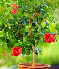 hibiscus conseils d entretien culture et arrosage