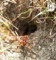 marderbau im garten erkennen hornissen hornissennester im erdreich