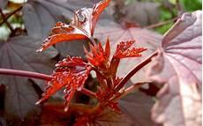 strauch rote blätter roter hibiskus pflanze hibiscus acetosella hibiskus