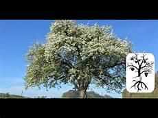 bäume schneiden bei alte obstb 228 ume schneiden schwaches wachstum korrigieren