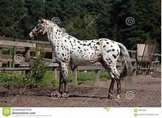 cavallo pomellato ritratto cavallo della razza knabstrupper immagine