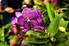 blühen nicht erdorchideen 187 einheimische und sch 246 ne arten