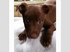 Carney   Medium Male American Staffordshire Terrier x