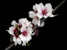 fiori mandorlo 013 fiori di mandorlo 2 foto immagini piante fiori e