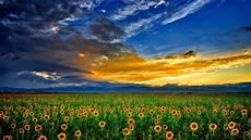 sunflowers field wallpapers13