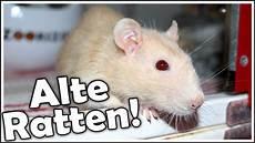 ratten fangen tipps alte ratten worauf sollte ich achten wie kann ich ihnen