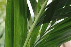 kentia palme braune blätter kentia palme braune bl 228 tter was tun wenn sie bl 228 tter