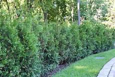 Thuja 187 So Beschleunigen Sie Das Wachstum Des Lebensbaums