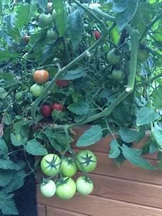 tomaten im hochbeet tomaten reifen im hochbeet