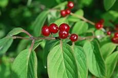 botanikus heckenkirsche rote