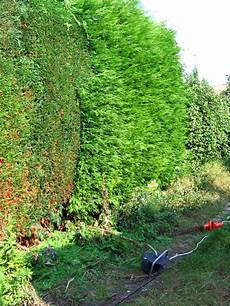 Wann Hecke Schneiden Thuja - file electric hedge trimmer and partly trimmed hedge jpg