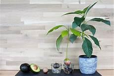 Avocado Pflanze Schneiden - avocadokern einpflanzen vermehrung anbau leichtgemacht