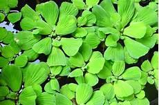 plante d eau laitue d eau une plante aquatique qui 233 l eau