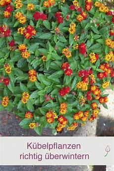 kübelpflanzen winterhart blühend k 252 belpflanzen richtig 252 berwintern k 252 belpflanzen