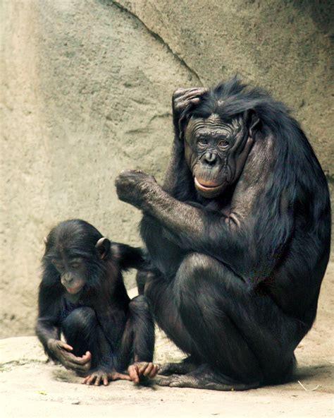 Bonobo Genitalia