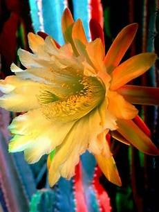 cactus flower iphone wallpaper flowers cactus flower picture iphone hd wallpaper