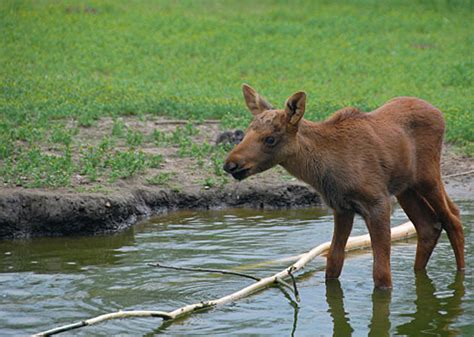18 Pictures Of Baby Moose, Just Because
