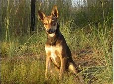 Dogs Info: Africanis (Dog Breed)