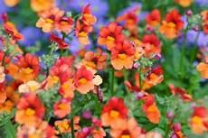fiori profumati da giardino gardenia pianta molto esigente dai profumati fiori bianchi