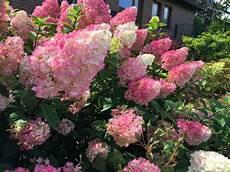Rispenhortensie Vanille Fraise 174 Hydrangea Paniculata