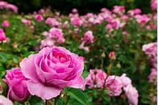 Wow 29 Bunga Mawar Pink Cantik Gambar Bunga Hd