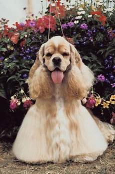 cocker spaniel hairstyles pets