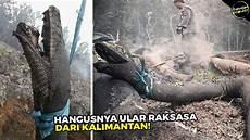 Fakta Dibalik Hangusnya Ular Anaconda Raksasa Terpanjang