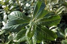 Kirschlorbeer Prunus Laurocerasus Tiermedizinportal