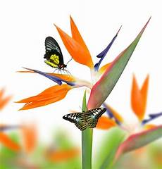 Malvorlage Vogel Mit Blume Strelitzia Reginae Paradiesvogel Blume Mit Butterfies