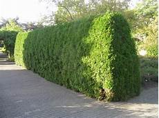 1000 images about evergreen hedge on trees