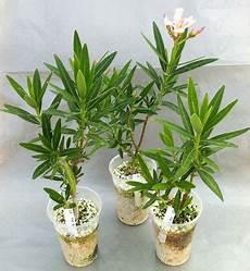 oleander bewurzeln oleander haus