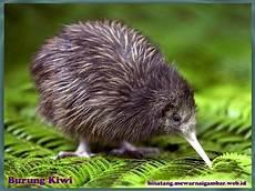 Gambar Burung Kiwi Nama Binatang Kiwi