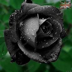 black flower seeds garden plants uk seller 10x
