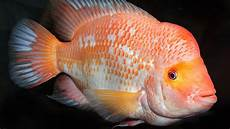 Ikan Hias Penjajah Perairan Indonesia Nama