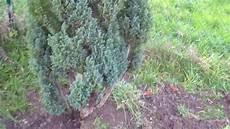 thuja hecke pflanzen thuja hecke pflanzen umpflanzen in 30 min