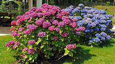 hortensien wann pflanzen schneiden hortensien hortensien richtig schneiden und