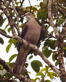 Zul Ya Birds Of Peninsular Malaysia Burung Punai Dan