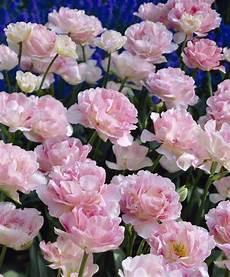 pflanzen günstig scheepers tulip angelique fragrant the