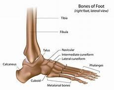 Fungsi Tulang Pergelangan Kaki Pengertian Struktur