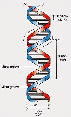 the dna double helix is presented as a twisted ladder with