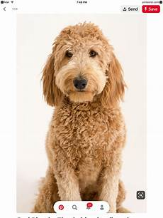 16 new goldendoodle haircut guide pictures meowlogy pin by mia dunny on doodle haircuts in 2020 goldendoodle haircuts goldendoodle golden doodle dog