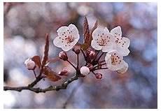fiore di fiore di ciliegio
