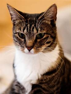 cat hair domestic haired cat