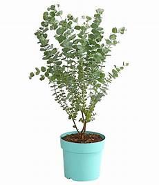 eukalyptus azura dehner