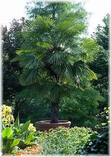 Palmen Für Den Garten - hanf palme trachycarpus fortunei balkon terrasse