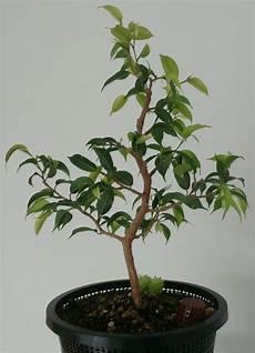 bonsai ficus benjamini ficus benjamini in form bringen www bonsai fachforum de
