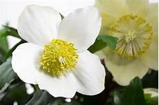 Christrose Im Zimmer - christrose als zimmerpflanze halten 187 pflegetipps