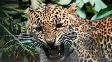 jaguar ou leopard cheetah vs leopard what s the difference mental floss
