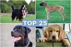 hunderassen mit bild die 25 beliebtesten hunderassen haz hannoversche